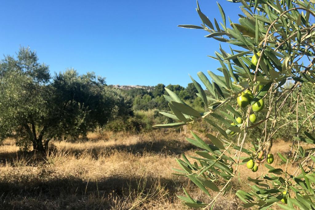 Beau terrain semé d'oliviers